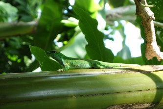 A lizard in the Climatron